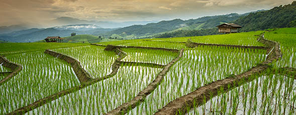 home_larpsydis1.jpg (Rice Field in the Morning - Vibrant color effect)